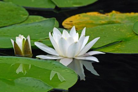waterlily: European white waterlily. Nymphaea alba Stock Photo