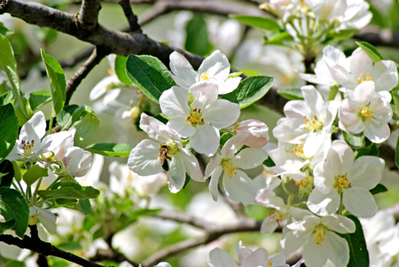 Blossoming apple. Bee pollinates flower