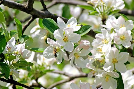 pera: Manzana. Abeja poliniza la flor