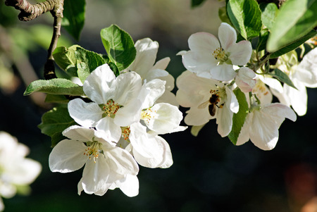 bee on flower: Blossoming apple. Bee pollinates flower