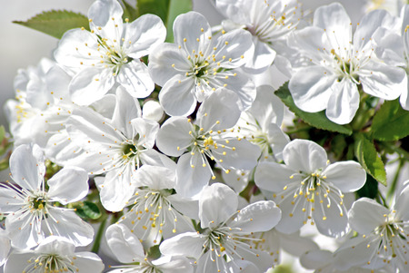 APPLE trees: Blossoming cherry. Flowering white tree. Romantic Spring Photo