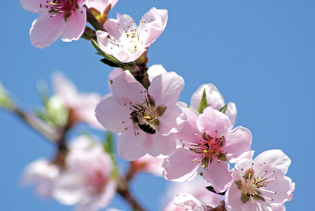 Blossoming peach. Flowering white tree. Bee pollinates flower