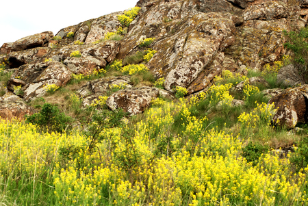 alison: Beautiful spring landscape in the mountains. Aurinia saxatilis. Basket of Gold flower. Stone hill with gold flower blossoms