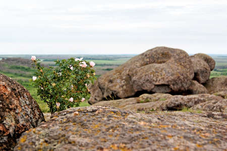 Bush of wild rose hips in National Park