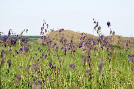 Salvia nutans, nodding sage. Steppe. National Park