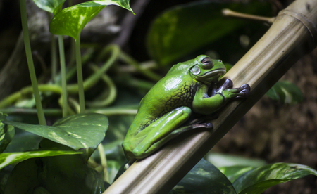 arboreal frog: green frog