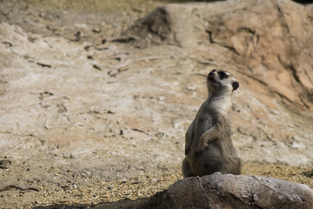 suricate: suricate on alert