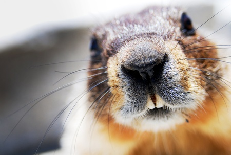 buck teeth: Marmot sniffing with gain wiskers. Shot under natural lighting.  Stock Photo