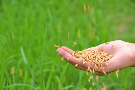 hand holding rice and paddy on green background, rice and paddy on hand.