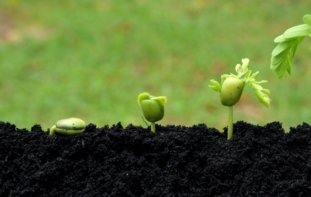tamarind young plants growing in soil on green nature background. growing step concept. Stock Photo