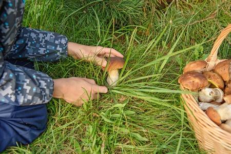 mushroom picking: Gathering edible mushroom. Beautiful cepes. Forest Mushroom