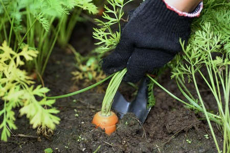 Pulling carrots from ground by hand, selective focus. Stock Photo