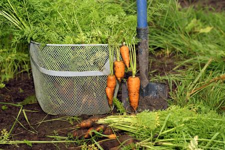 Freshly picked ripe carrot bunch in basket