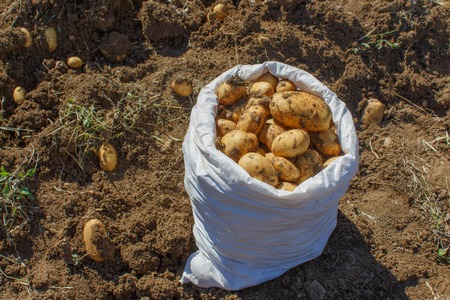 agronomic: Potatoes in a white bag. Raw potatoes amid the countryside and fields. Gardening, farming concept - Picking potatoes Stock Photo