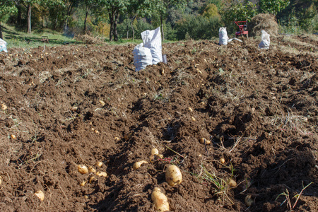 agronomic: Raw potatoes amid the countryside and fields. Gardening, farming concept. Harvesting potatoes on field Stock Photo