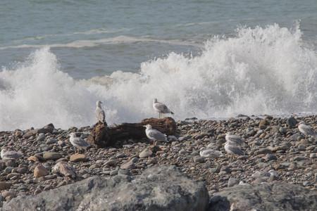 Seagulls standing on stone. In the background sea. Seagull on stoney beach 免版税图像