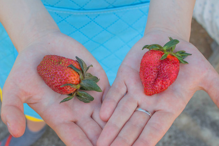 Strawberry. Fresh strawberries picked in the palm of your hand. Women Hands holding Giant strawberry