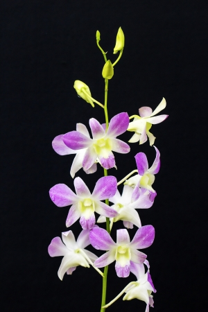 mothering: Beauty pink orchid isolated on a black Stock Photo