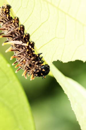 polymorphism: Brown caterpillars eat the leaves are green  Stock Photo
