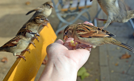streetlife: Cheeky Sparrow eating out of a hand while other birds look on