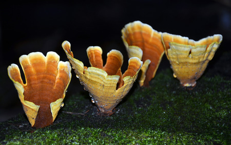 mycology: Four cups of the Turkey Tail Fungus (Stereum ostrea) growing on a fallen moss covered tree in the rainforest Stock Photo