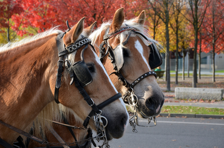blinkers: Two carriage horses in the autumn city streets