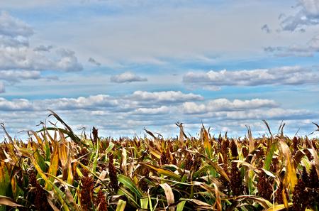 sorgo: Cosecha de grano de sorgo bajo el cielo azul con nubes