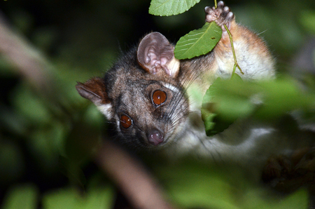 possum: Australian Ringtail Possum peering through tree branches