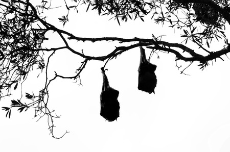 pteropus: Silhouettes of two Grey headed flying foxes (fruit bats) hanging upside down from a tree with wings folded Stock Photo