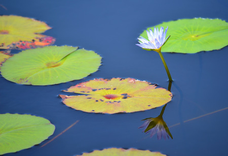 lily pads: Waterlily and water lily pads reflection in blue water