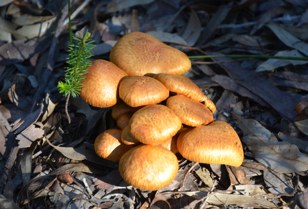 fungi: Clump of golden orange fungi growing on the forest floor Stock Photo