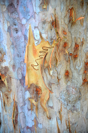 bark peeling from tree: Single scribble on colourful new bark on an Australian scribbly gum tree