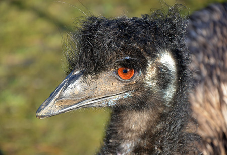 bad hair: Australian Emu in profile having a bad hair day Stock Photo