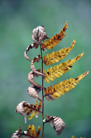 bracken: Dried and dying bracken fern with curled leaves