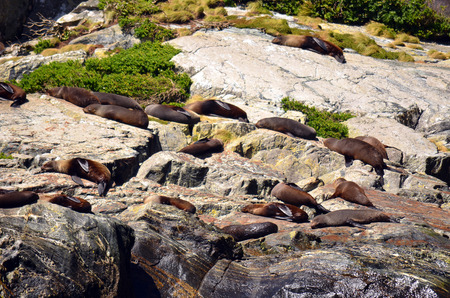 lions rock: Colony of Sea Lions sleeping and basking in the sun on a rock in Milford Sound, New Zealand