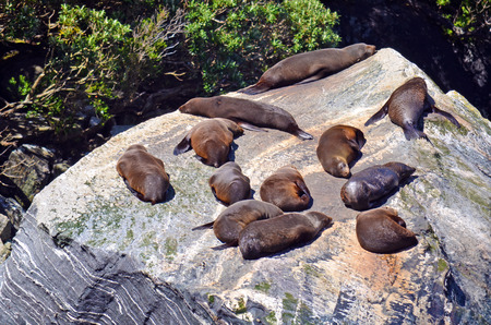 lions rock: Sea Lions sleeping and basking in the sun on a rock in Milford Sound, New Zealand