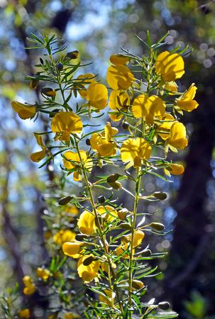 fabaceae: Yellow flowers of an Australian native pea Stock Photo