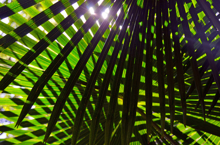 fan shaped: Backlit overlapping leaves of the Australian Cabbage Tree Palm (Livistona australis)
