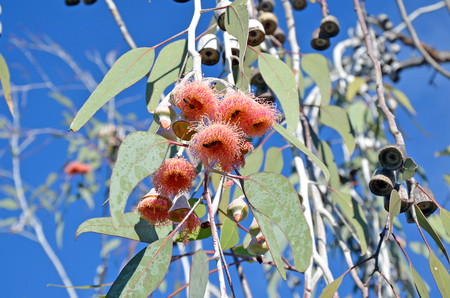 pollinators: Pink gum tree (Eucalyptus) blossoms, gum nuts and honey bee pollinators, under a blue sky, Western Australia. Stock Photo