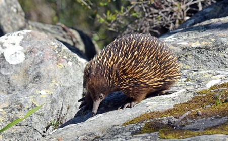 echidna: Australian echidna (spiny anteater, Tachyglossus aculeatus) searching for ants on sandstone rocks