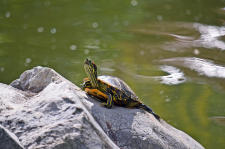 sunning: Yellow bellied slider turtle (Trachemys scripta) sunning itself on a rock in the middle of a green pond