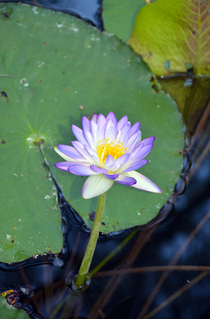 nymphaea: Purple waterlily (Nymphaea) flower in a Queensland river, Australia
