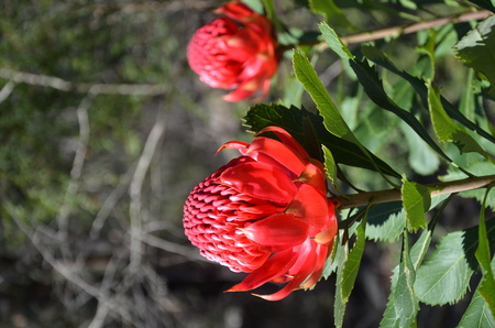 magenta flowers: Red and magenta flowers of the native Australian protea, the Waratah, in the Australian bush