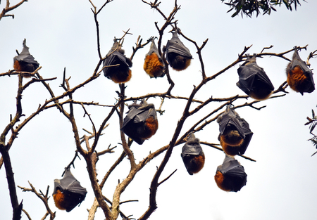 pteropus: Colony of sleeping grey headed flying foxes (fruit bats, Pteropus) hanging from a tree in Sydney, Australia