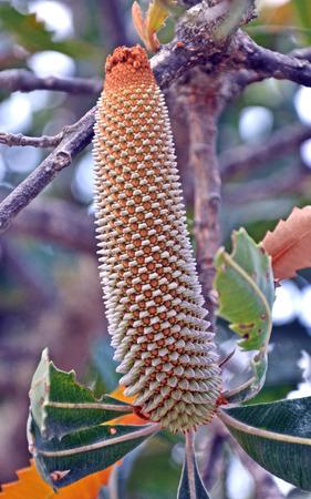 Geometric patterns of an immature developing flower of Australian Old Man Banksia Tree (Banksia serrata)