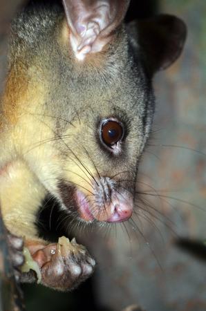 possum: Close up of an Australian Brushtail possum eating fruit in a Sydney backyard