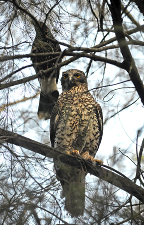 harried: Australian Powerful Owl being harried by a Pied Currawong together in the same tree in the Australian bush