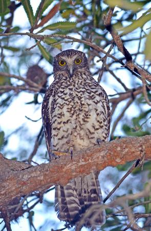 Australian Powerful Owl (Ninox strenua) perched in a tree in Sydney, Australia