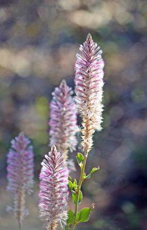 Purple Ptilotus nobilis (regal foxtail) in Boodjamulla (Lawn Hill) National Park, Queensland Australia. Called Mulla Mulla by indigenous Australians.