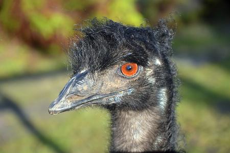 emu: Emu australiano en el perfil que tiene un mal día